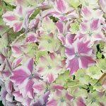 Hydrangea Macrophylla Harlequin