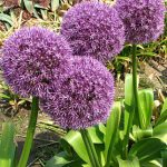 Allium Round and Purple