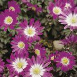 Anemone blanda Pink Sta
