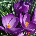 Crocus vernus Flower Record