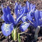Iris histroides Lady Beatrix Stanley