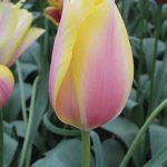 Tulip Blushing Lady