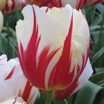 Tulip Carnival de Rio