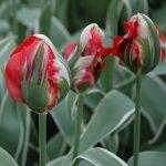 Tulip Esperanto