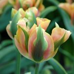 Tulip Green River