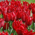 Tulip Jennie Butchart