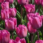 Tulip Magic Lavender