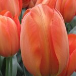 Tulip Orange Balloon
