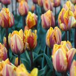Tulip Princess Margaret