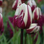 Tulip Rems Favorite