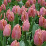 Tulip Salmon Prince