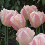 Tulip Sugar Love