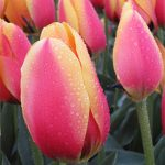 Tulip World Peace