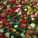 Tulip Murillo Mix