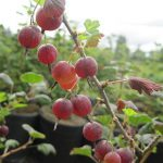 Gooseberry Hinnomaki Red