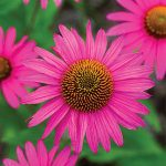 Echinacea Pink Shimmer