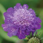 Scabiosa Mariposa Violet PPAF