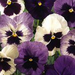 Pansy Ocean Breeze Mix