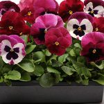 Pansy Ruby Mix