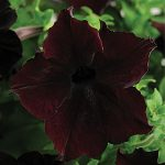 Petunia Sophistica Blackberry Hybrid