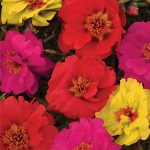 Portulaca Color Carosel Mix