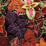 Coleus Giant Leaf Mix