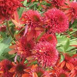 Echinacea Double Scoop Orangeberry PPAF