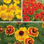 Helenium Pinwheel Collection