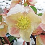 Helleborus x ballardiae Cinnamon Snow