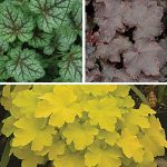 Heuchera Tricolor Collection