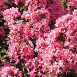 Crape Myrtle Coral Magic PPAF