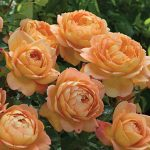 Rose Lady of Shalott