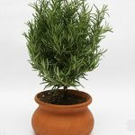 Rosemary in 4″ Clay Washpot