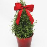 Rosemary Mini Tree in Red Tin Pot