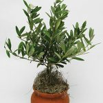 4″ Clay Washpot Olive Tree