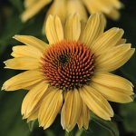 Echinacea Sandy Yellow