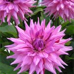 Dahlia Dinnerplate American Dream