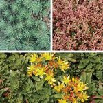 Sedum Ground Cover Collection