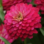 Zinnia Zahara Double Strawberry