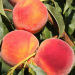 Peach Tree Sweet 'N Up