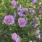 Hibiscus Lavender Chiffon PP12619