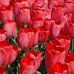 Tulip Big Chief