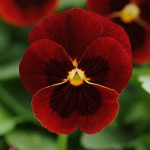 Viola Sorbet Red Blotch