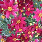 Coreopsis Red Satin PPAF