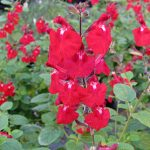 Salvia Suncrest Bright Eyes