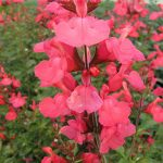 Salvia Suncrest Flamenco Rose