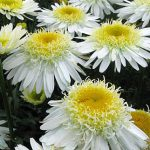 Shasta Daisy Real Glory