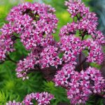 Sedum Sunsparkler Cherry Tart PPAF