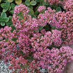 Sedum Sunsparkler Lime Zinger PPAF