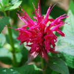 Monarda Bee's Knees PPAF